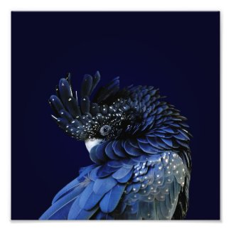 Red-Tailed Black Cockatoo in Blue