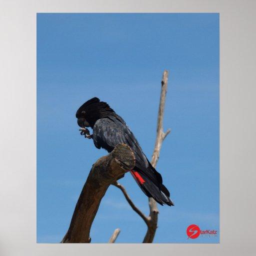 Red Tailed Black Parakeet Poster