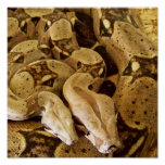 Red Tailed Boas Print