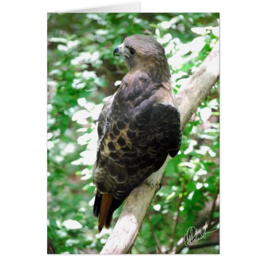 Red-Tailed Eagle Card