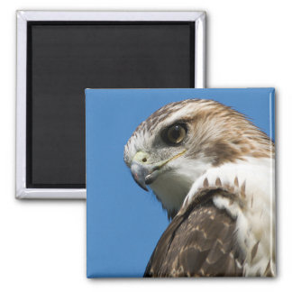 Red-Tailed Hawk 2 Inch Square Magnet