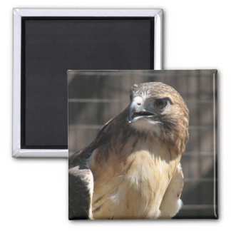 Red-tailed Hawk/Buzzard Magnet