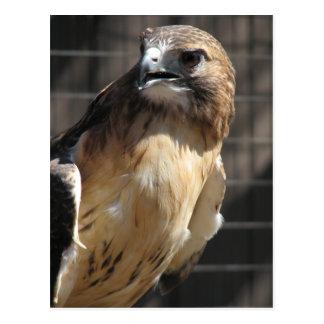 Red-tailed Hawk/Buzzard Postcard