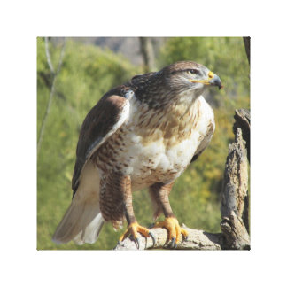 Red Tailed Hawk Stretched Canvas Print