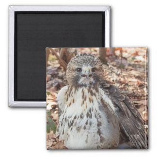 Red Tailed Hawk Doubled 2 Inch Square Magnet