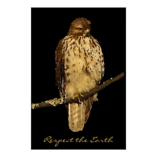 Red tailed Hawk Earth Day