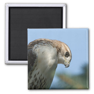 Red-Tailed Hawk Fridge Guard 2 Inch Square Magnet