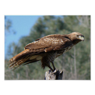 Red-tailed Hawk gaze Poster
