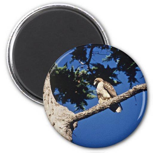 Red-tailed Hawk, immature 2 Inch Round Magnet