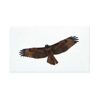 Red-tailed Hawk in flight, Humboldt County, CA Canvas Print