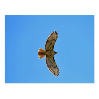 Red-Tailed Hawk in Flight Postcard