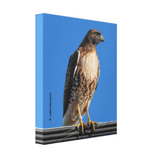 Red-Tailed Hawk in the Sun Canvas Print