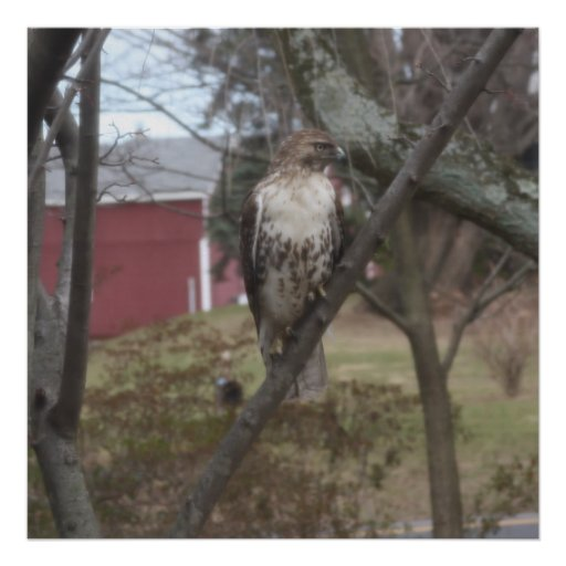 Red-tailed Hawk in Tree Poster Poster