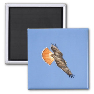 Red-tailed Hawk Refrigerator Magnet
