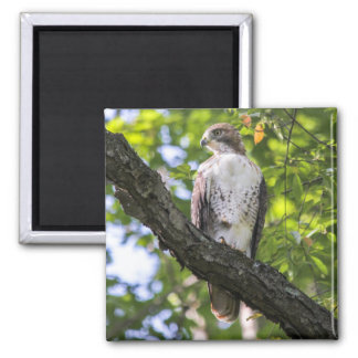 Red-tailed Hawk Magnet