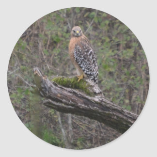 Red Tailed Hawk on Limb Classic Round Sticker