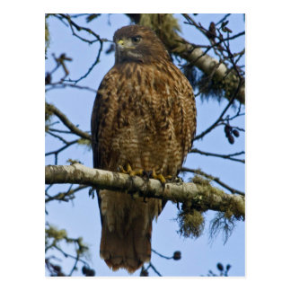 Red Tailed Hawk Photo Postcard