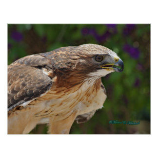 Red-tailed Hawk Portrait Poster
