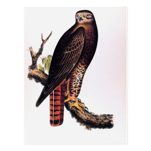 Red Tailed Hawk Post Card