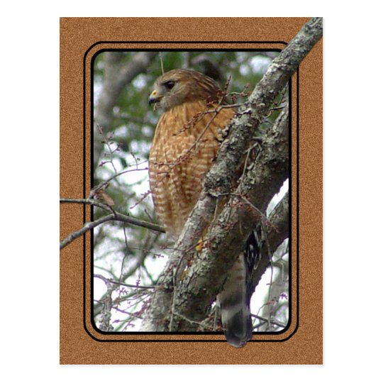 Red Tailed Hawk Postcard 2