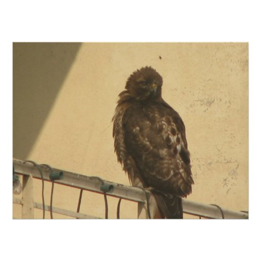 RED TAILED HAWK POSTERS