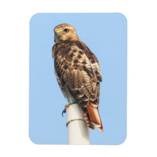 Red-tailed Hawk Vinyl Magnet