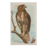 Red-tailed Hawk Print