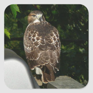 Red tailed Hawk Square Sticker