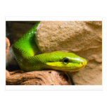 Red Tailed Racer Post Card