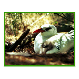 Red-tailed Tropicbird and Chick Postcard