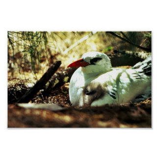 Red-tailed Tropicbird and Chick Print