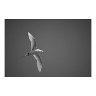 Red-tailed Tropicbird in Kauai Poster