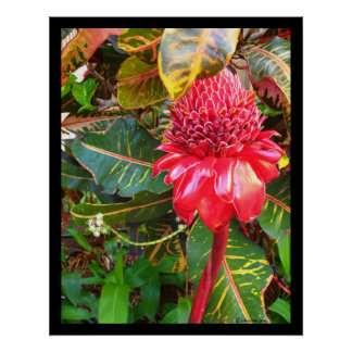 Red Torch Ginger Poster Prints