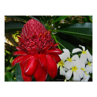 Red Torch Ginger White Plumaria Flowers Posters