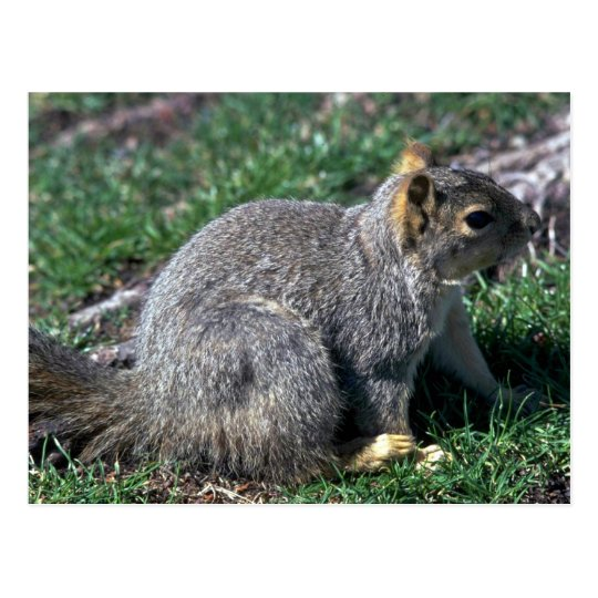 Red Tree Squirrel Postcard