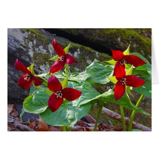 Red Trilliums Greeting Card