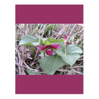 Red Trilliums Post Cards