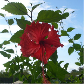 red tropical flower magnet