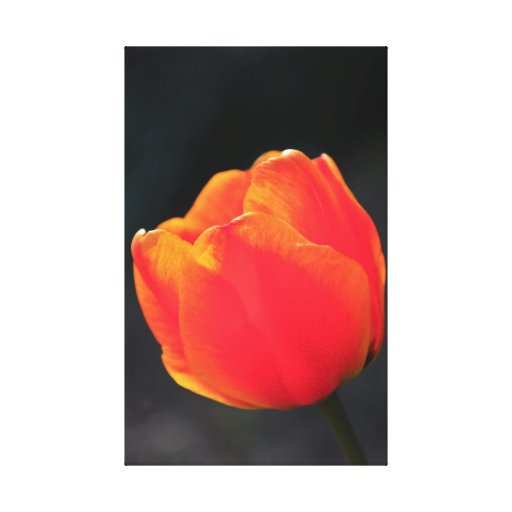 Red tulip gallery wrapped canvas