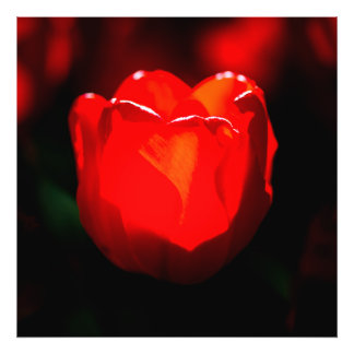 Red Tulip Flower - Fire Photo Print