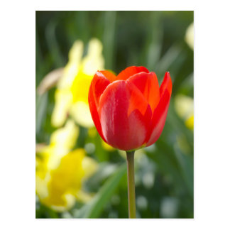 Red Tulip   Flower Photography Postcard