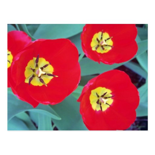 Red Tulip flowers Postcard
