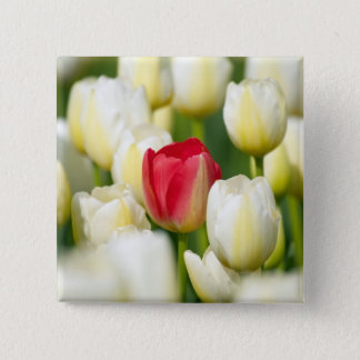 Red tulip in a field of white tulips button