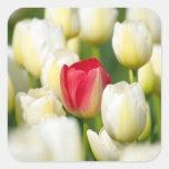 Red tulip in a field of white tulips square sticker