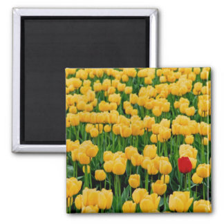 Red Tulip in a Yellow Tulip Field Fridge Magnets