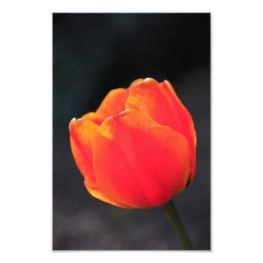 Red tulip photo print