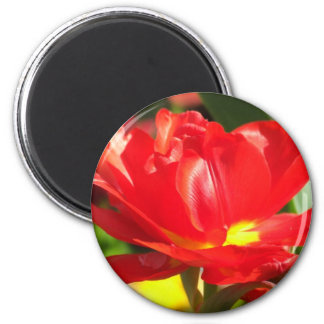 Red Tulip Photographs Magnets