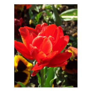 Red Tulip Photographs Postcards