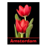 Red Tulips Amsterdam Postcard