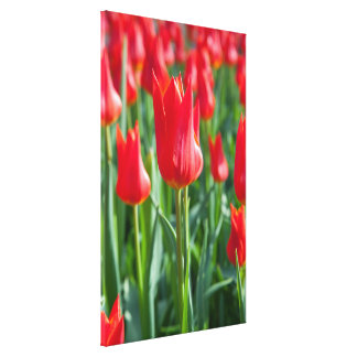 Red Tulips Stretched Canvas Prints